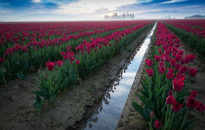 flower-tulip-fields-netherlands-11
