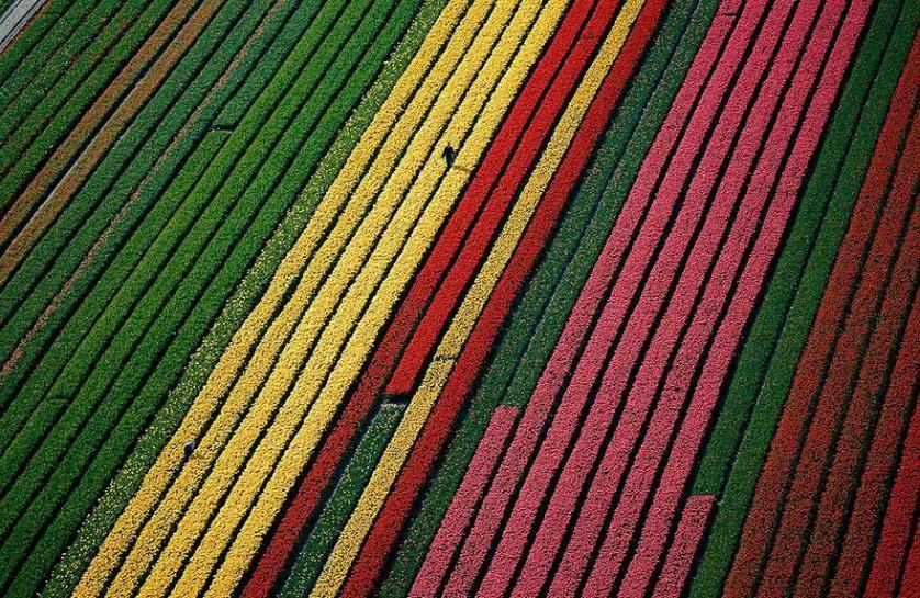 flower-tulip-fields-netherlands-13