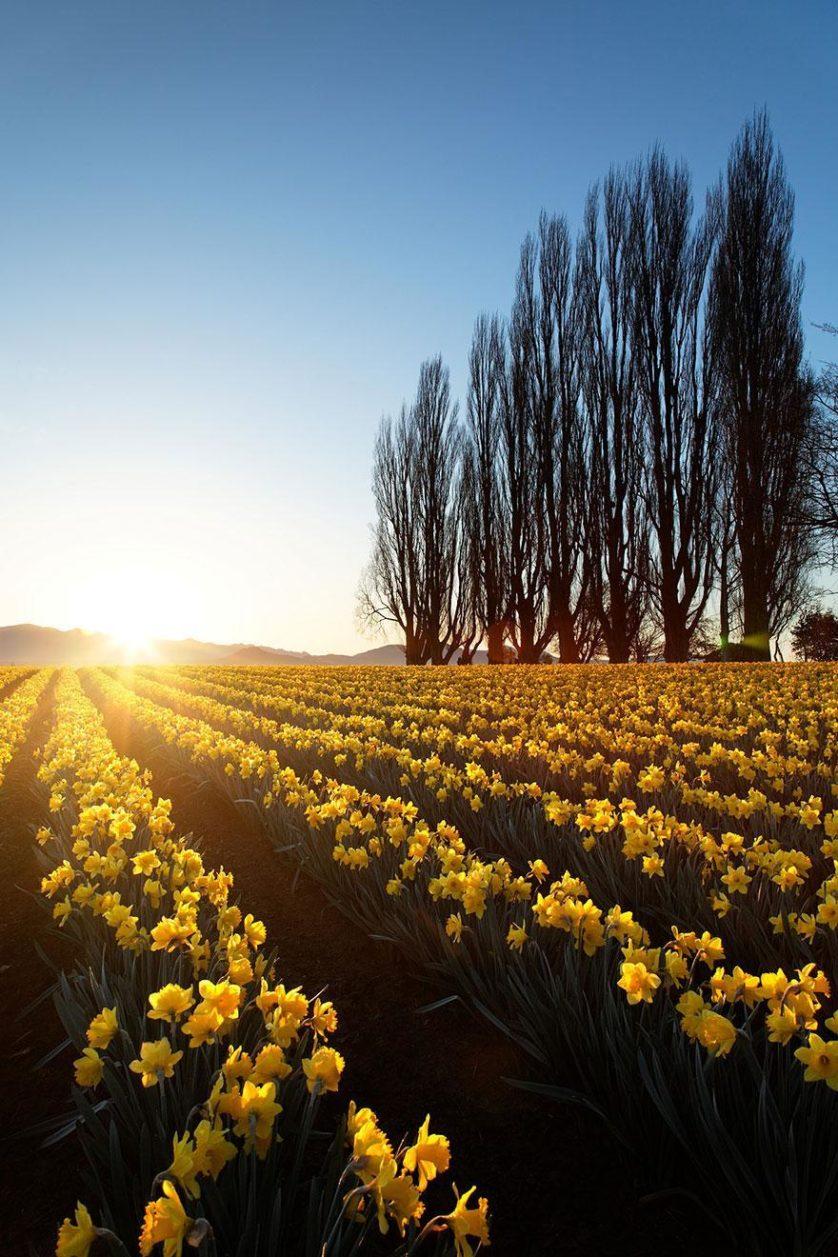 flower-tulip-fields-netherlands-2