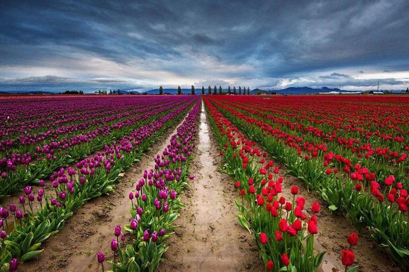 flower-tulip-fields-netherlands-3