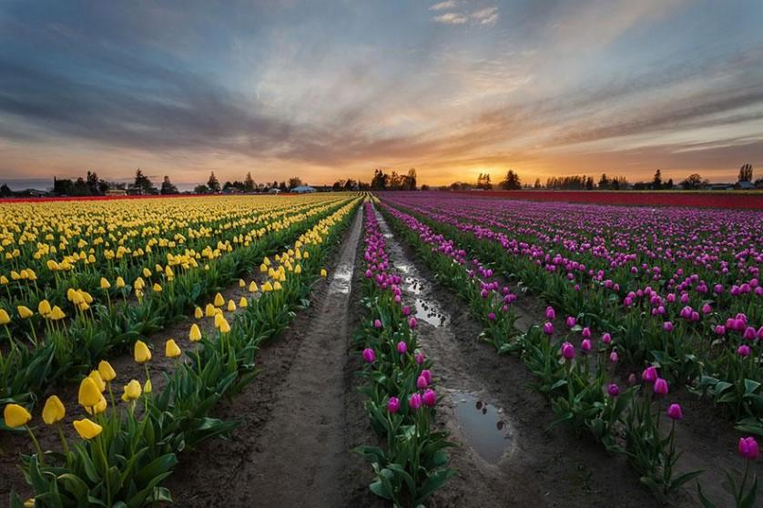 flower-tulip-fields-netherlands-5