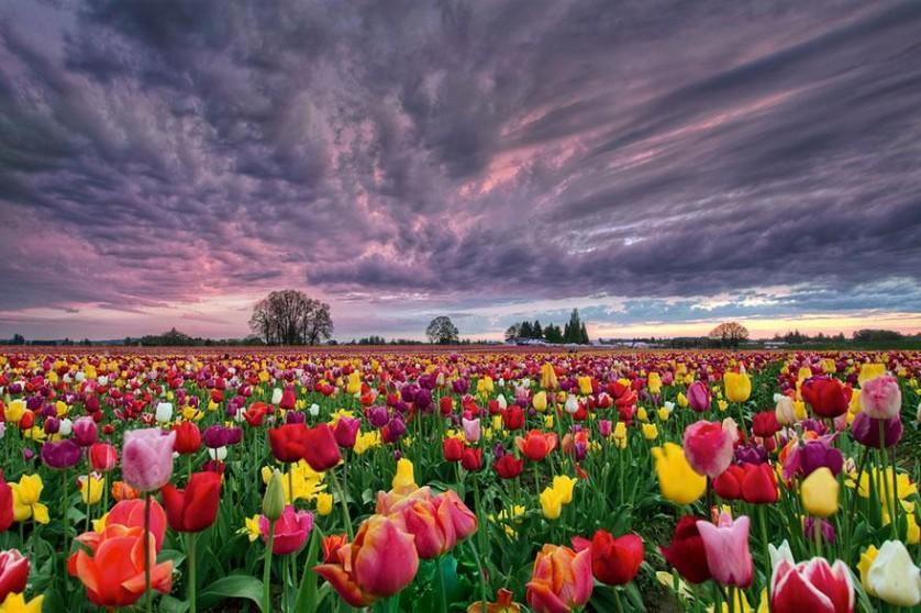 flower-tulip-fields-netherlands-6