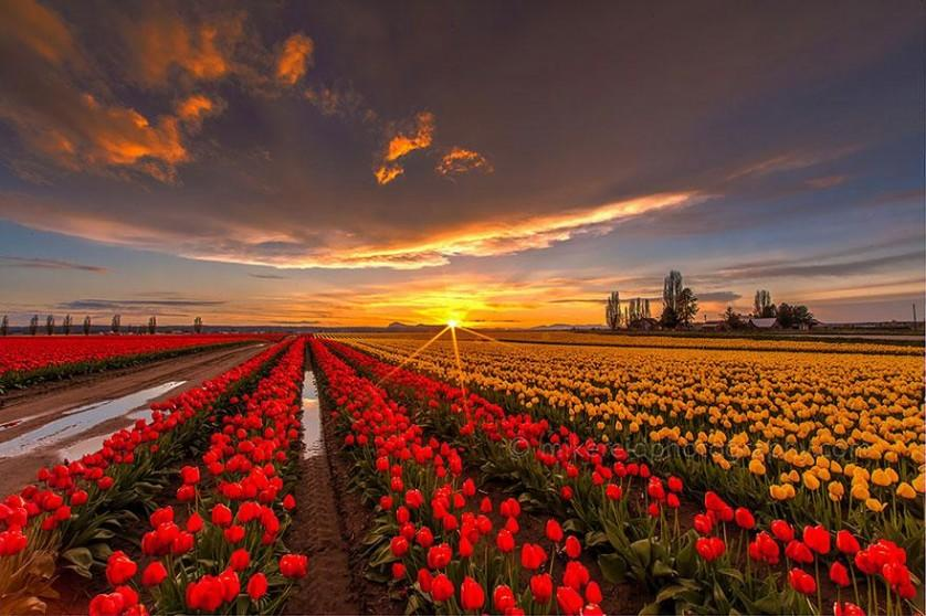 flower-tulip-fields-netherlands-7