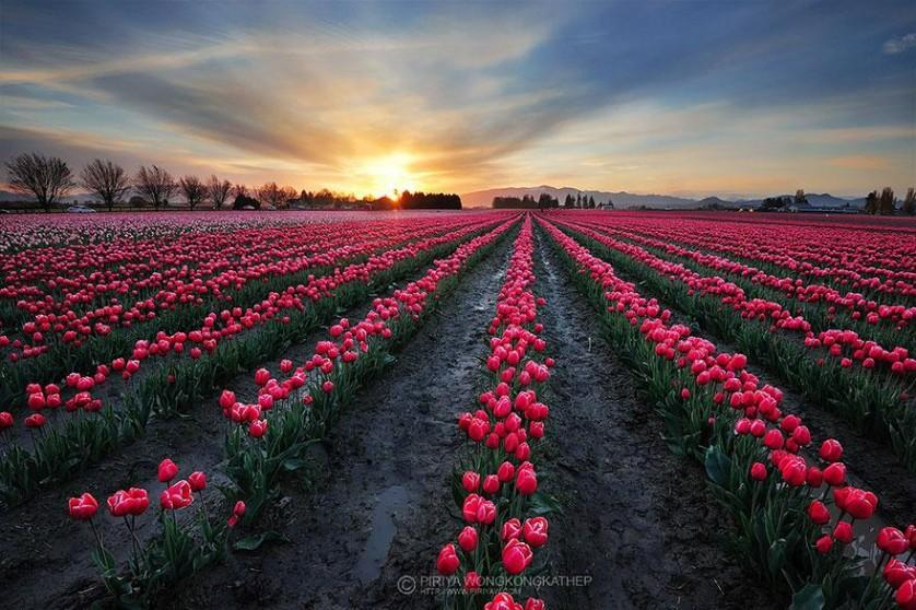 flower-tulip-fields-netherlands-8