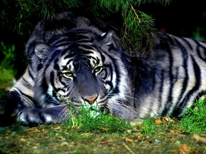 tigre preto melanismo