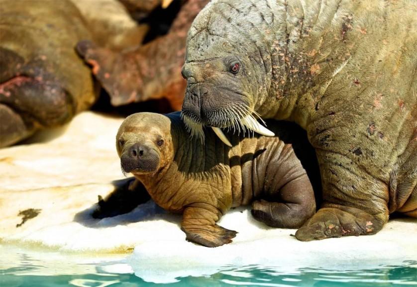 """Morsa e seu bebê. Morsas são extremamente """"mãezonas"""", constantemente abraçando e acariciando seus filhotes. Elas costumam manter seus bebês em blocos de gelo para evitar que se machuquem no meio das multidões de morsas em terra. Foto por: Mauro Mozzarelli"""