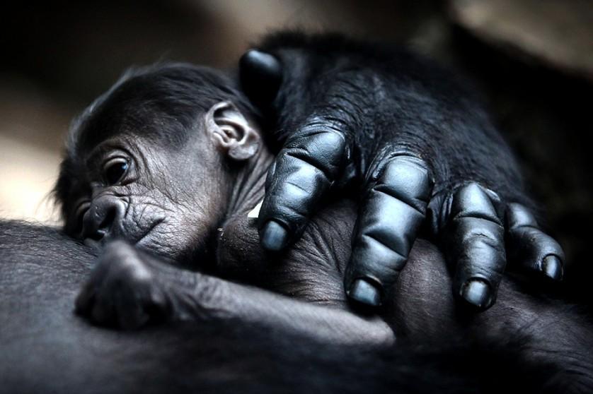 Mãe gorila abraça seu bebê. Esses animais vivem em pequenos grupos de 6 a 7 indivíduos, incluindo um macho adulto, algumas fêmeas e seus filhotes. Foto por: Fredrik Von Erichsen