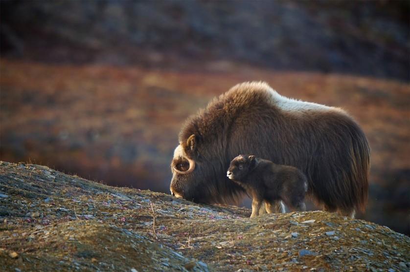 Boi-almiscarado e seu bebê. O vínculo do filhote com a mãe enfraquece depois de dois anos. Foto por: Randy Kokesch