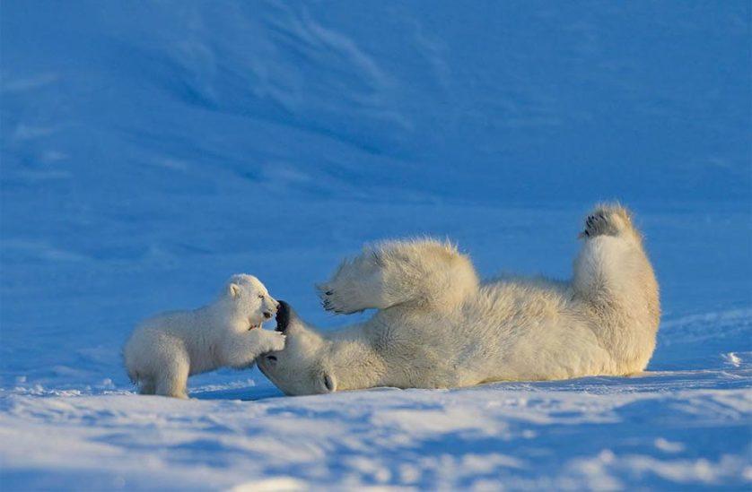 Bebê urso polar brinca com sua mãe. Geralmente, ela amamenta o filhote por dois anos e meio. Durante esse tempo, o protege e o ensina a caçar. Foto por: Nik Zinoviev