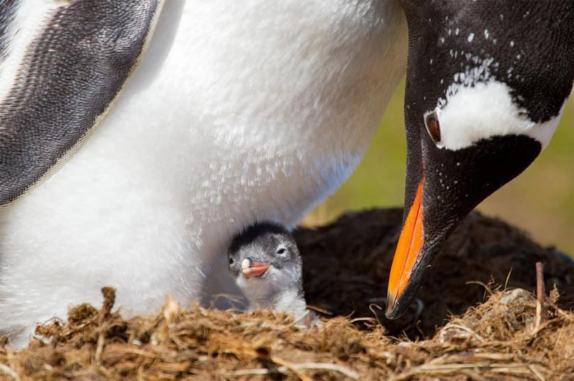 Filhote de pinguim com poucas horas de vida. Pinguins muitas vezes se amontoam para se aquecer nas temperaturas frias da Antártida. Foto por: Ondrej Zaruba