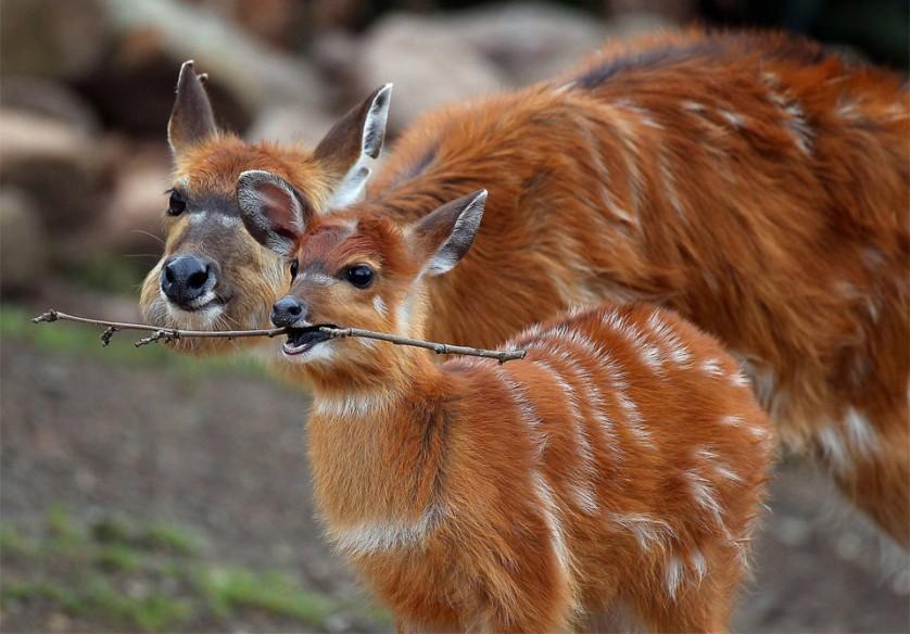 Antílope bebê brinca com um pedaço de pau. O filhote é um alvo fácil para predadores, e a mãe o mantém em um local secreto até que se torne mais forte. Foto por: Oliver Berg