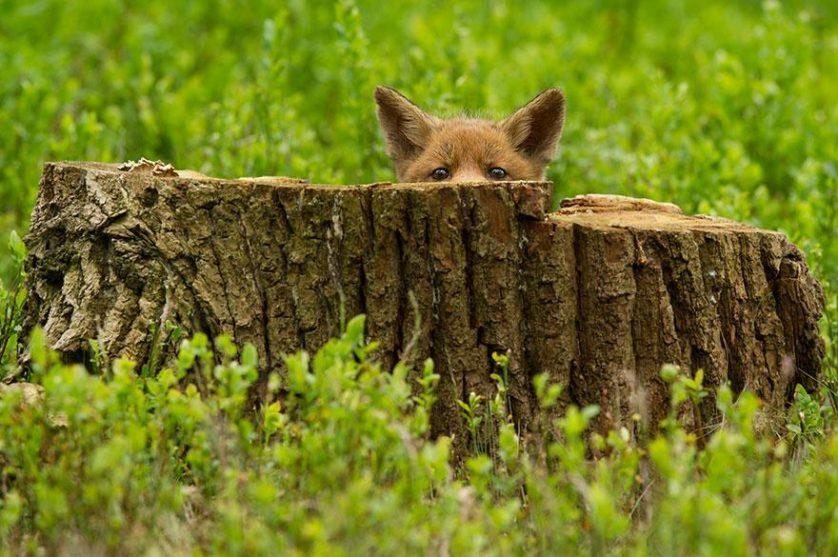 amazing-fox-photos-2