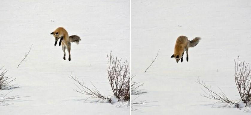 amazing-fox-photos-28-2