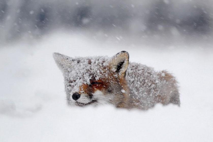 amazing-fox-photos-7