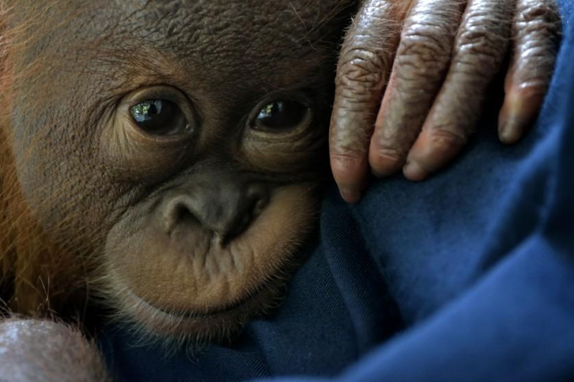 Um bebê orangotango-de-sumatra macho resgatado chamado Siboy passa por reabilitação no centro do Programa de Conservação do Orangotango-de-sumatra no distrito Sibolangit, na ilha de Sumatra do Norte. O orangotango foi resgatado em 15 de abril no distrito de Langkat, nas proximidades de um pequeno pedaço de floresta e plantação agrícola. As populações de primatas criticamente ameaçadas estão diminuindo rapidamente devido à caça furtiva e destruição de seu habitat natural, que vendo sendo convertido em plantação de óleo de palma.