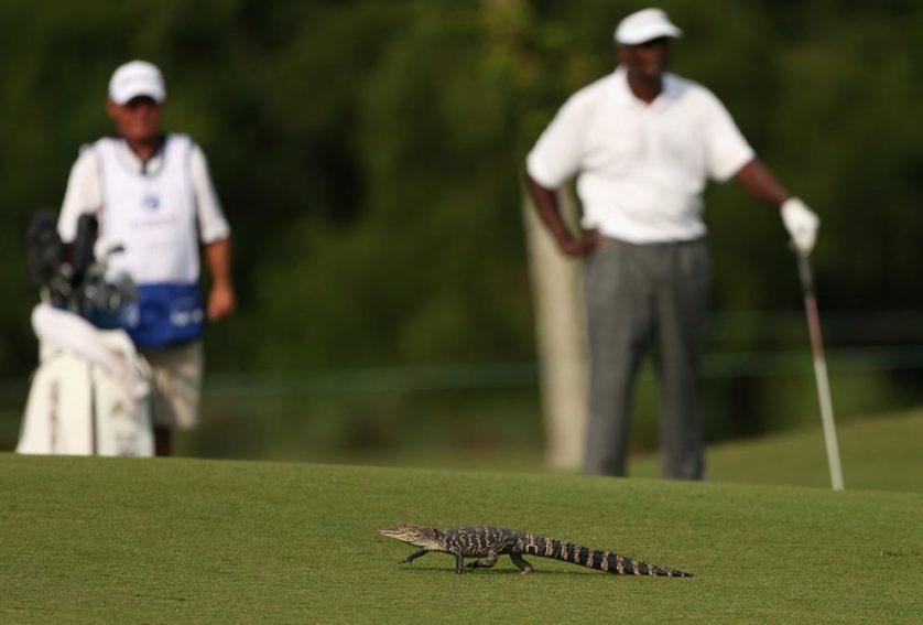 O jogador de golfe Vijay Singh tem um encontro inesperado com um jacaré bebê ao dar uma tacada durante a segunda rodada do torneio Zurich Classic of New Orleans, em 25 de abril, em Avondale, Estados Unidos.
