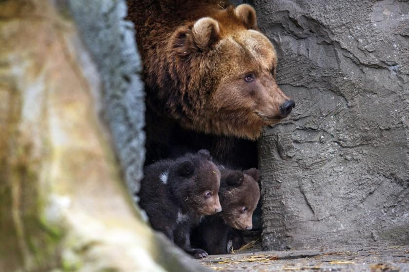 A ursa marrom Mascha e seus filhotes espiam de dentro de uma caverna no zoológico Hagenbeck, em Hamburgo, Alemanha, em 11 de abril.