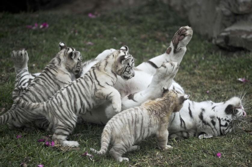 Uma fêmea do tigre-de-bengala branco brinca com seus três filhotes, que nasceram em cativeiro no zoológico da Huachipa, em Lima, Peru, em 29 de abril, desfrutando das temperaturas mais equilibradas dos trópicos.