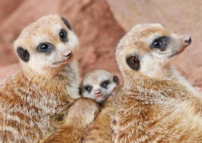 Dois filhotes de suricato se aninham em meio aos adultos em sua jaula ao ar livre no jardim zoológico em Erfurt, Alemanha, em 19 de março.
