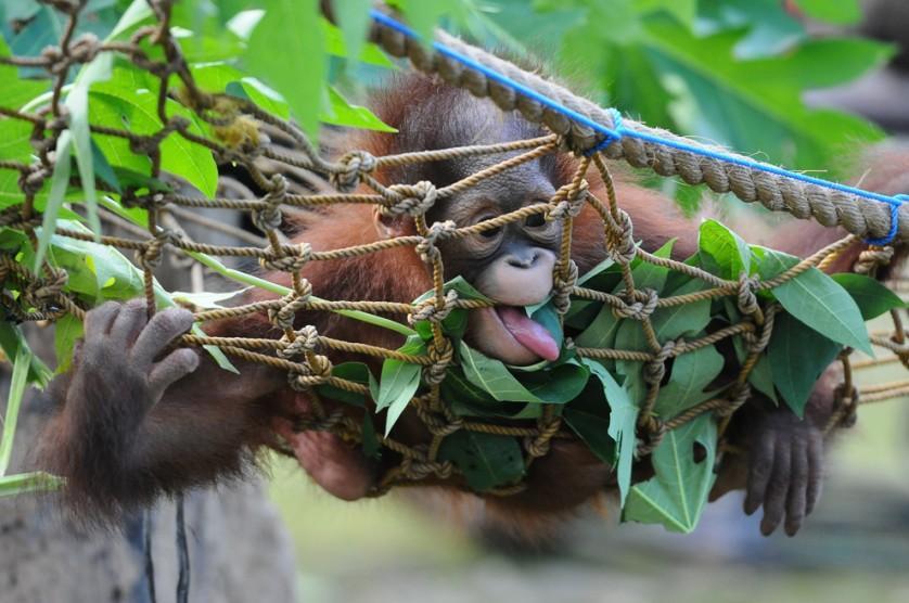 Rizki, um orangotango-de-bornéu ófão de 10 meses de idade, começa a aprender a morder e comer folhas no Zoológico de Surabaya, na Indonésia, em 19 de maio. Ele está sendo preparado para ser devolvido na natureza. O animal e seu irmão foram encontrados no parque nacional de Kutai em 14 de maio em estado crítico após terem sido abandonados por sua mãe. Desde então, o Centro de Proteção ao Orangotango (COP) está cuidados dos animaizinhos, tratando a sua desnutrição e as 16 feridas que tomavam seus pés e mãos.