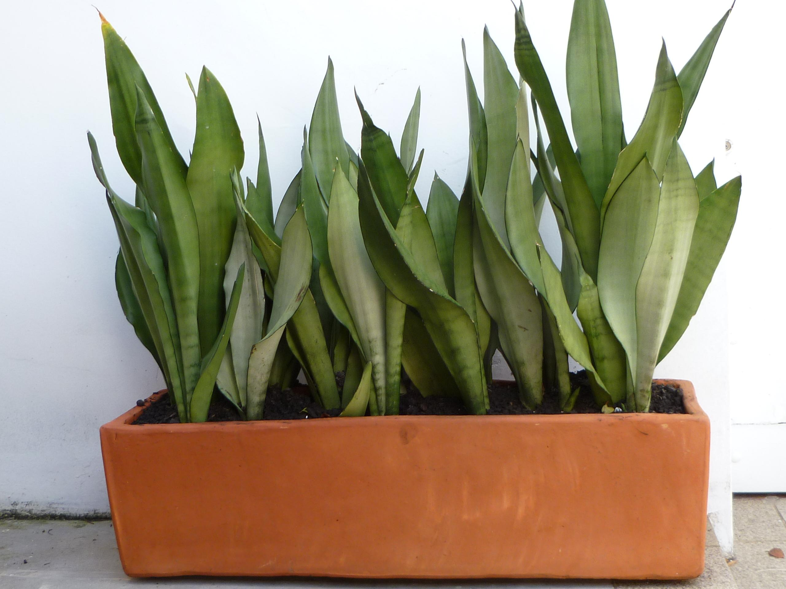 Tr s plantas que limpam o ar da sua casa hypescience - Bambu planta exterior ...