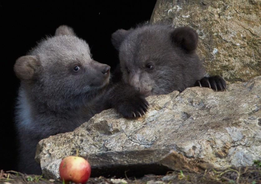 Dois filhotes de urso marrom com três meses de idade brincam em sua jaula no parque de animais Juraparc, perto de Vallorbe, Suíça, em 7 de abril. Ursina, uma ursa de 18 anos, deu à luz aos dois filhotes, King e Zoe. Os ursos pais foram separados antes do nascimento para evitar o conflito entre o pai e os filhotes.