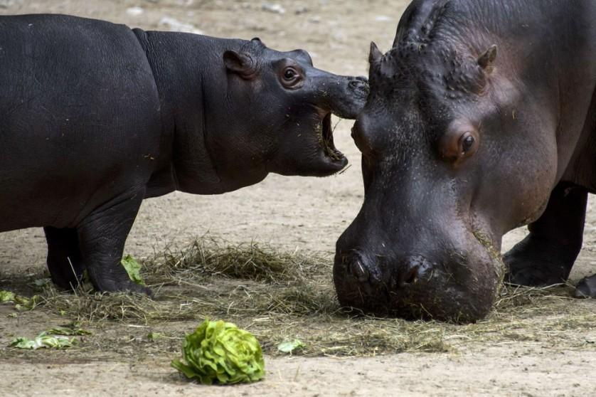 Lani, um bebê hipopótamo-pigmeu, faz um lanchinho com sua mãe, Ashaki, em 17 de maio, no Zoológico de Basileia, Suíça. Havia 14 anos desde que um exemplar da espécie tinha nascido no zoológico. Lani veio ao mundo no dia 18 de março, quando ainda estava um pouco frio demais para que ela ficasse no exterior da jaula. Agora, ela se junta a sua mãe no espaço ao ar livre em dias quentes e ensolarados. Lani é uma dos 135 hipopótamos-pigmeus no Programa Europeu de Espécies Ameaçadas.
