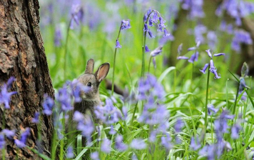 Um coelho bebê enconde-se entre flores roxas em uma floresta de Scunthorpe, nordeste da Inglaterra, em 25 de abril.