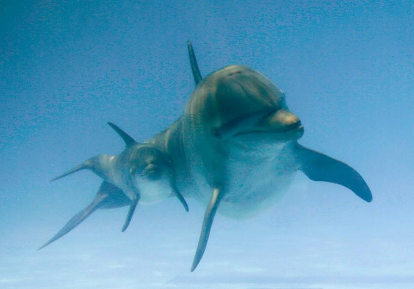 Um golfinho bebê e sua mãe, batizada Panamá, nadam juntos, no Miami Seaquarium, Estados Unidos, em 22 de abril. O filhote, que é uma fêmea, tinha 11 dias de idade na imagem.