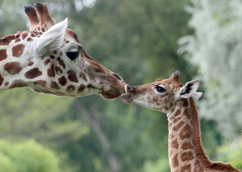 Com nove dias de idade, a girafa Bine lambe o nariz de sua tia Andrea no zoológico Friedrichsfelde, em Berlim, Alemanha, em 9 de maio. A girafa bebê nasceu no dia 30 de abril durante o horário de funcionamento, e vários visitantes tiveram a oportunidade única de assistir ao nascimento.