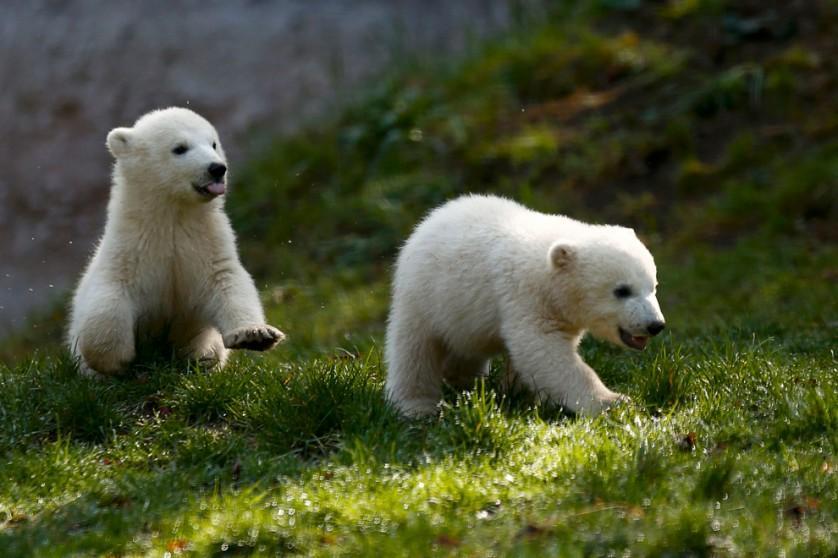 As gêmeas Nela e Nobby, filhotes de urso polar, brincam na área externa de sua jaula no zoológico Tierpark Hellabrunn, em Munique, Alemanha, no dia 7 de abril.