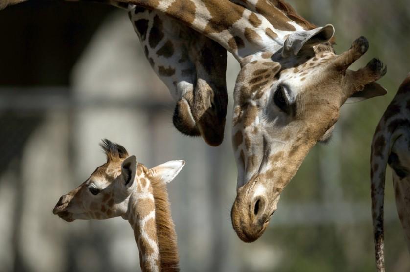 O bebê girafa Madiba (à esquerda) fica ao lado de sua mãe, Etosha, e outras girafas no zoológico Tierpark Hagenbeck, em Hamburgo, Alemanha, em 16 de abril.