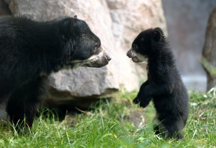 Um urso de cinco meses de idade, ainda sem nome, explora sua jaula com a sua mãe, Huanca, no zoológico em Duisburg, Alemanha.