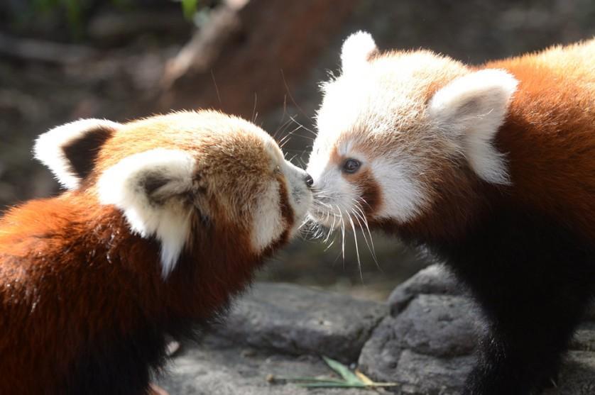 Um dos dois filhotes de panda vermelho (à direita) nascidos no National Zoo and Aquarium em Canberra, Austrália, recebe um beijo de sua mãe, Eilisha, em 8 de maio. O panda vermelho é nativo da China e do leste do Himalaia e é uma espécie ameaçada.