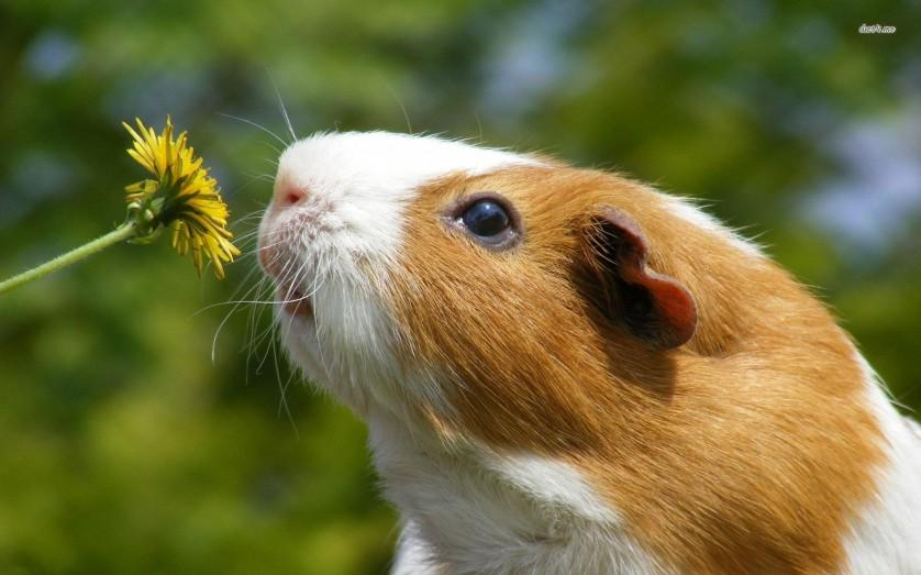 7070-guinea-pig-smelling-dandelion-1680x1050-animal-wallpaper