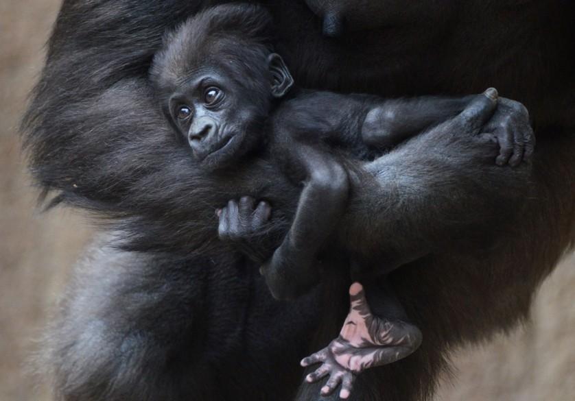 Diara, um bebê gorila de quase dois meses de idade, relaxa nos braços de sua mãe, Kumili, em 8 de maio, no zoológico de Leipzig, na Alemanha.