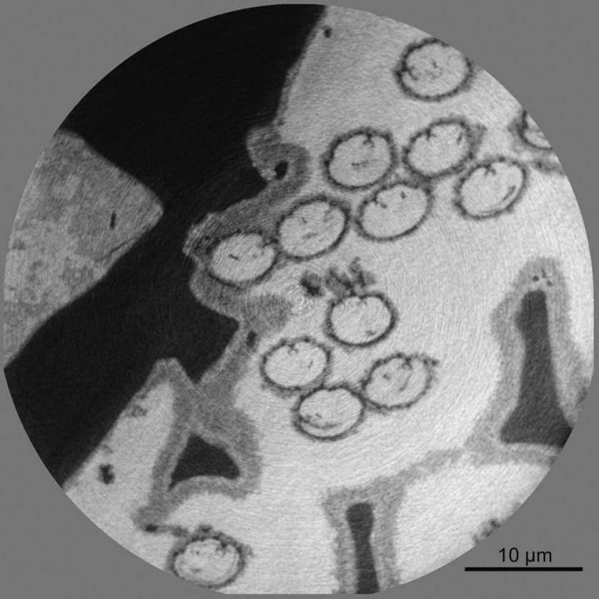 Espermatozóide gigante fossilizado
