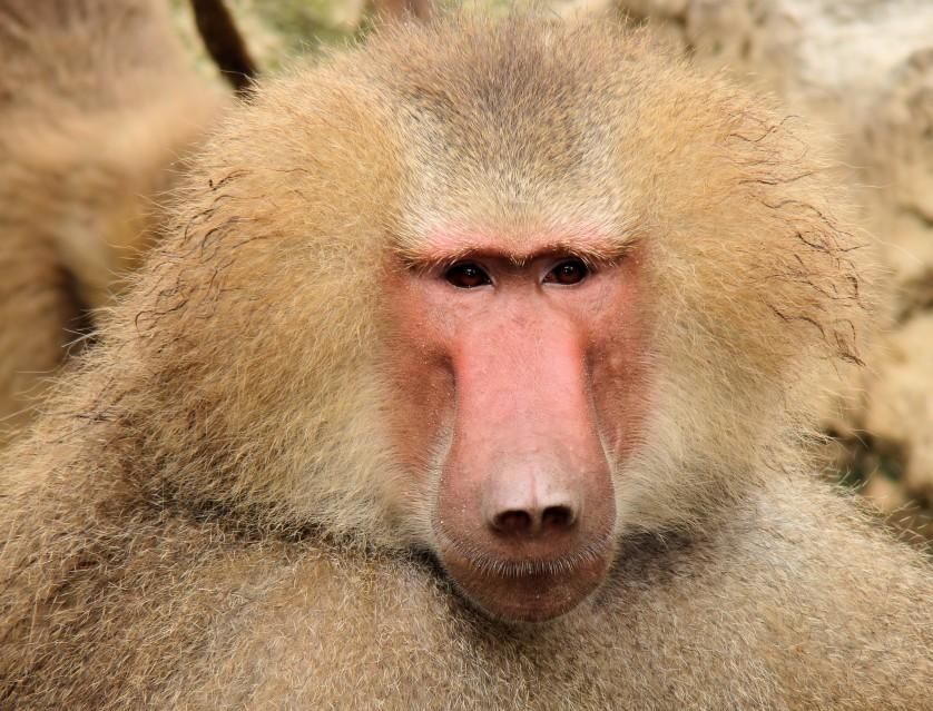 Portrait_Of_A_Baboon
