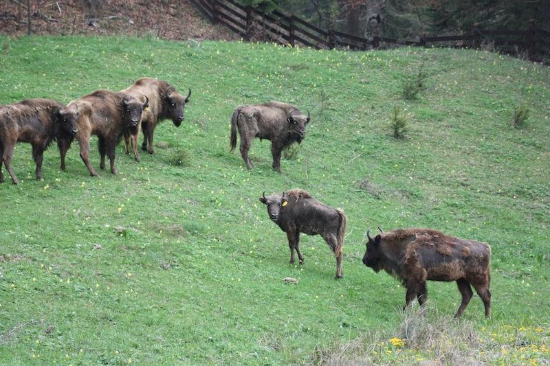 Sete bisões fêmeas que foram para Romênia