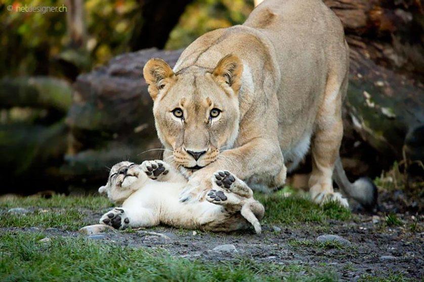 animal-parents-13