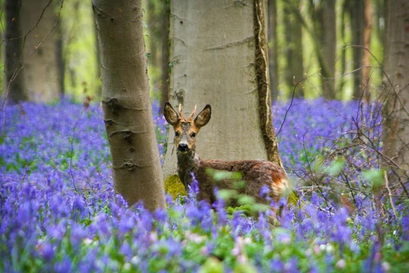 bluebells-blooming-hallerbos-forest-belgium-10