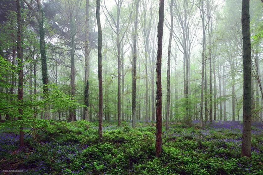 bluebells-blooming-hallerbos-forest-belgium-12