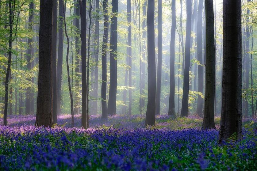 bluebells-blooming-hallerbos-forest-belgium-15