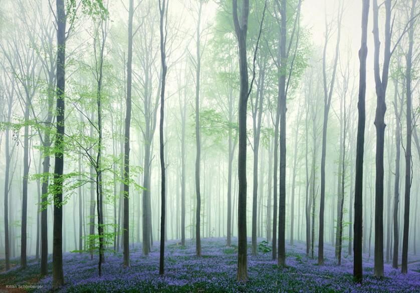 bluebells-blooming-hallerbos-forest-belgium-2