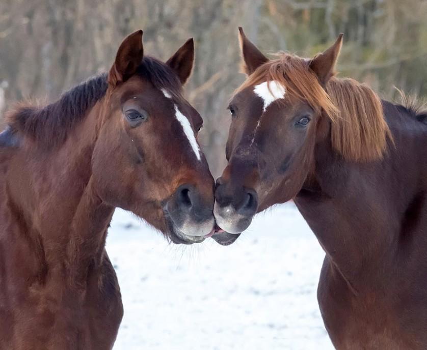 fotos de animais se beijando cavalos