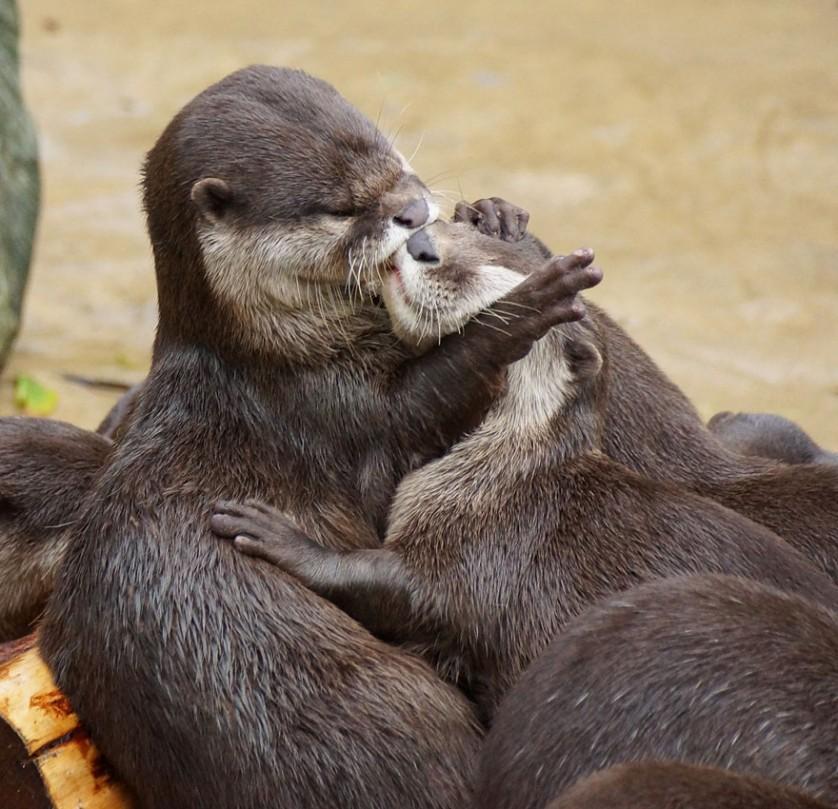 fotos de animais se beijando lontra