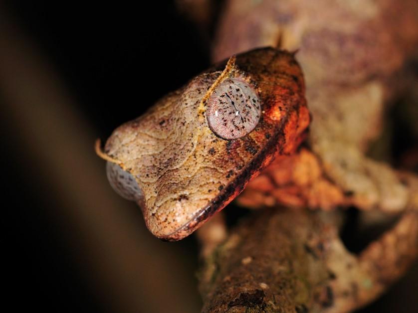lagartixa satanica com camuflagem surpreendente (2)