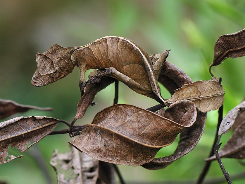 lagartixa satanica com camuflagem surpreendente (3)