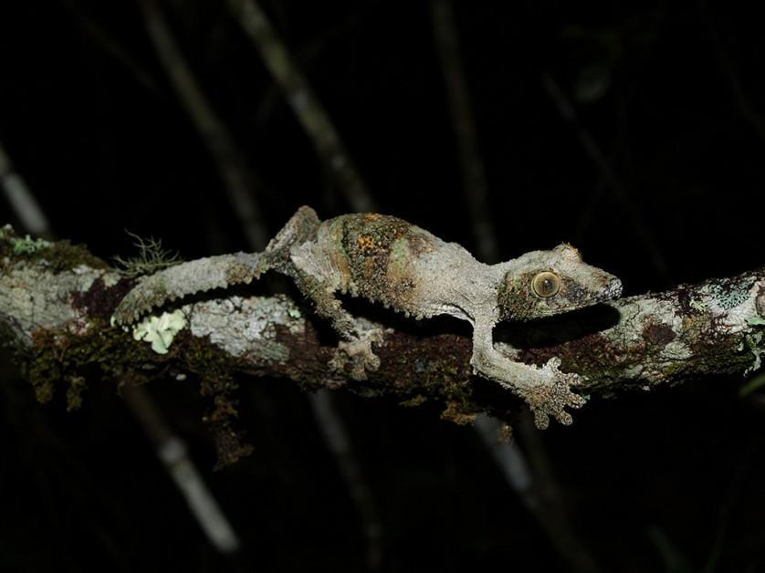 lagartixa satanica com camuflagem surpreendente (4)