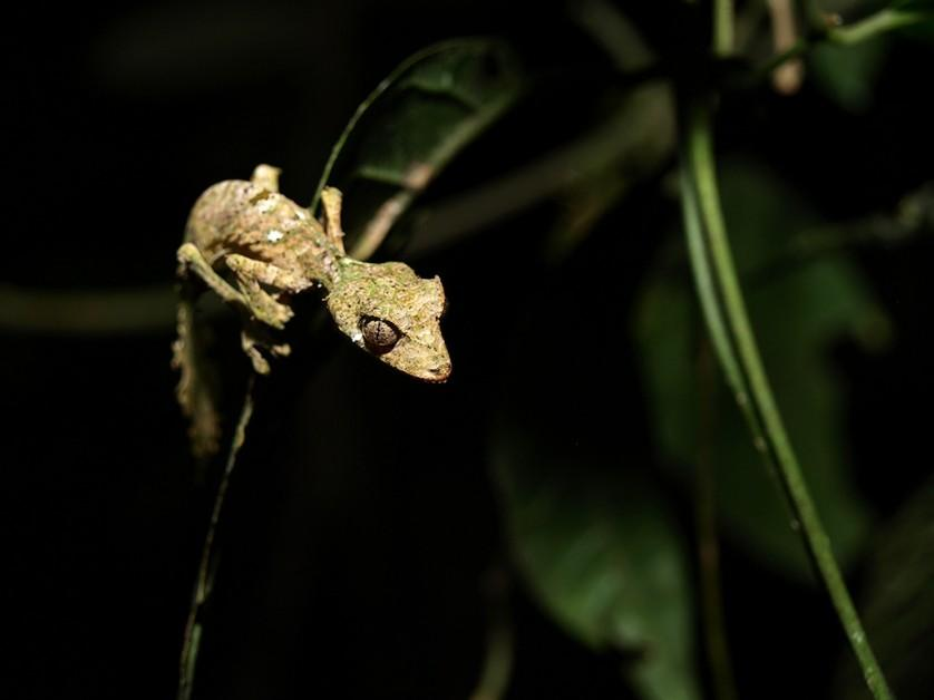lagartixa satanica com camuflagem surpreendente (6)